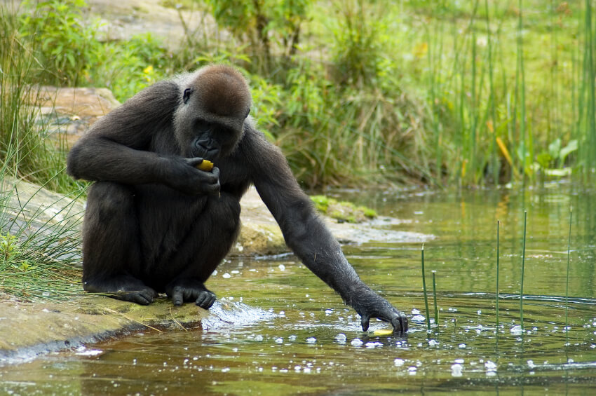 Gorilla trying to grab his food out of the water, although he doesn' t really like the water!