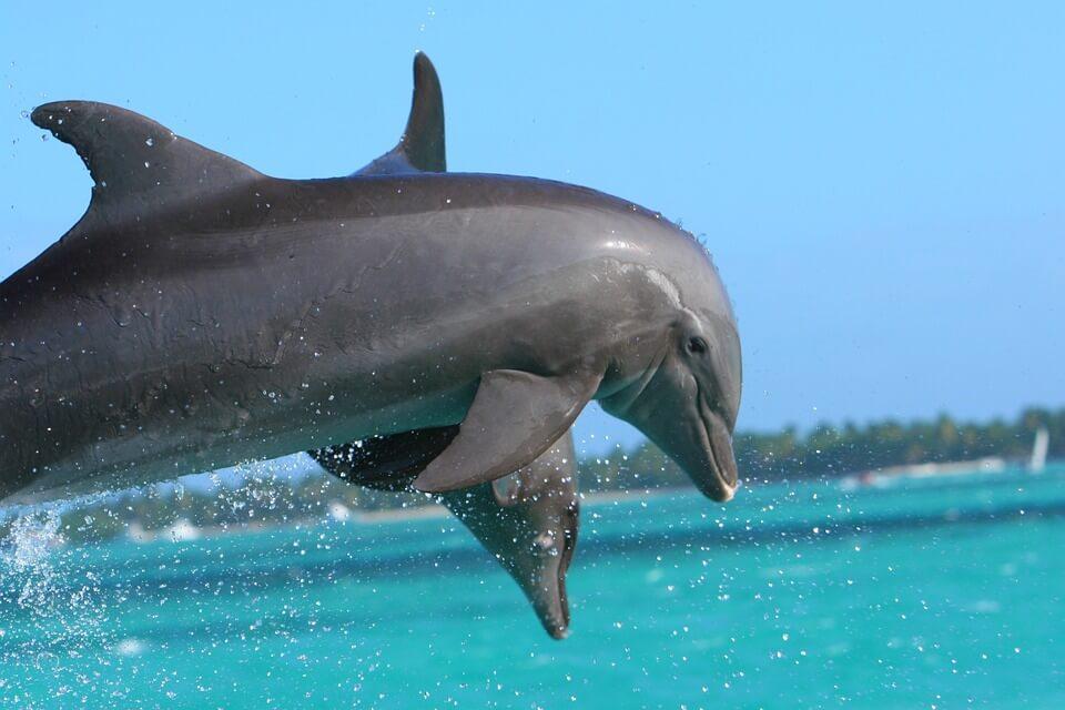Dolfijnen op de caribbean