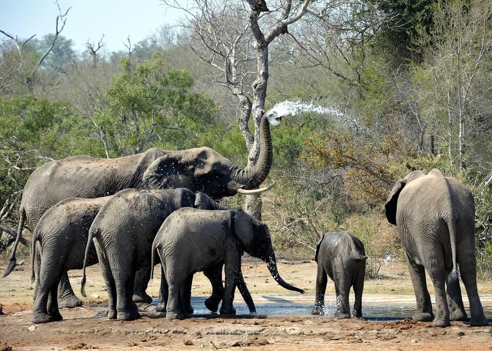 olifanten kruger park