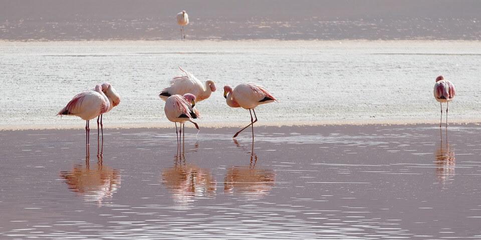 flamingo's bolivia