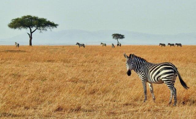 zebra fotograferen