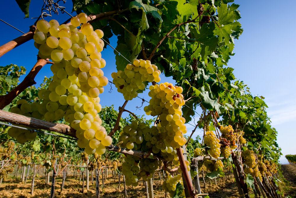 druiven italie wijnreis
