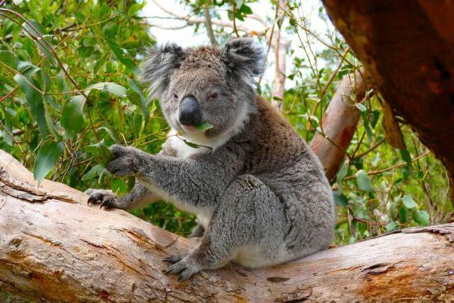 Great Ocean Road - Koala in Otway National Park