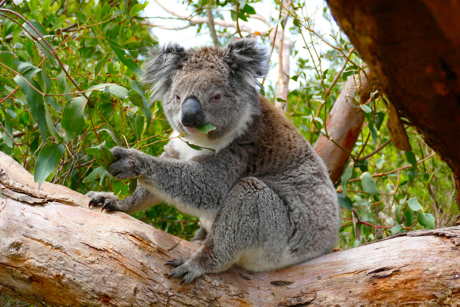 Great Ocean Road - Koala in Otway National Park