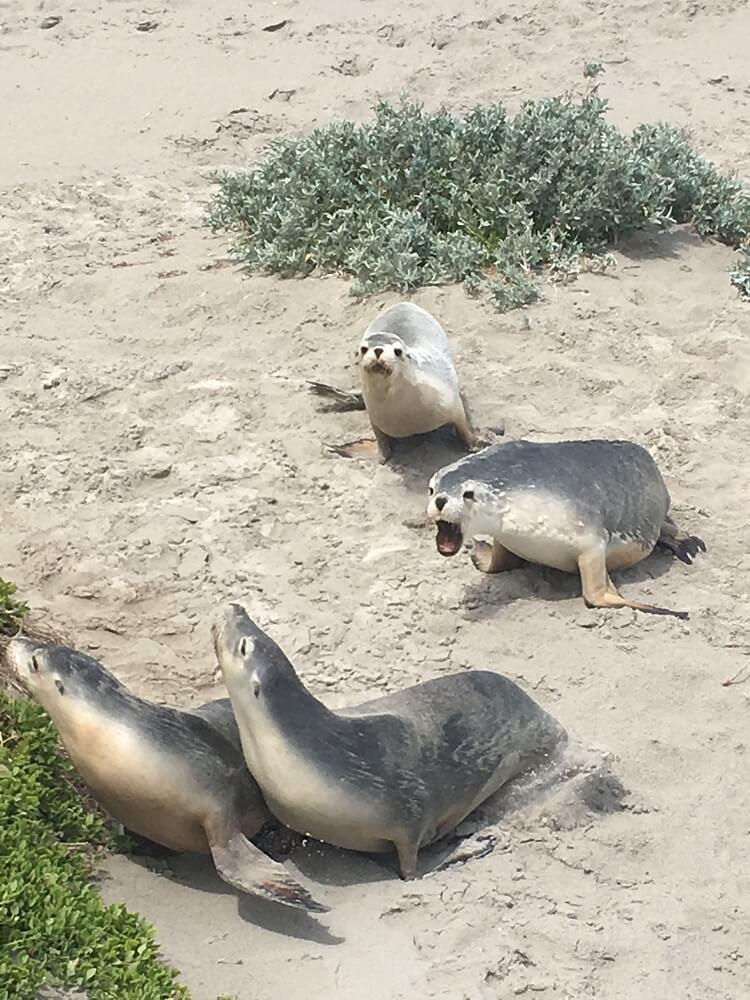 Kangaroo Island zeeleeuwen