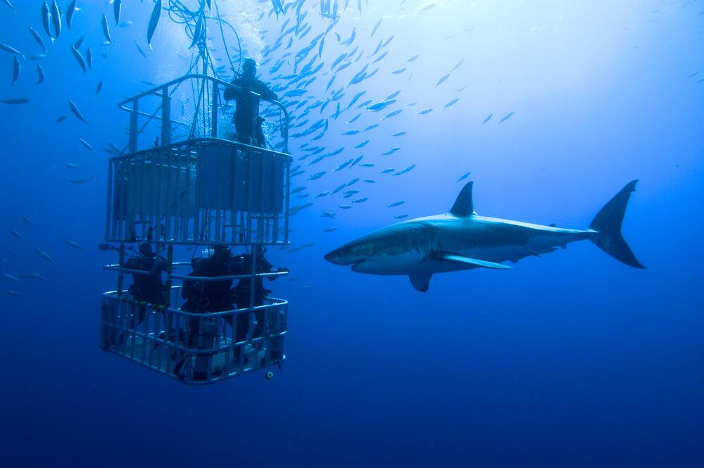 Haaien Zuid-Afrika
