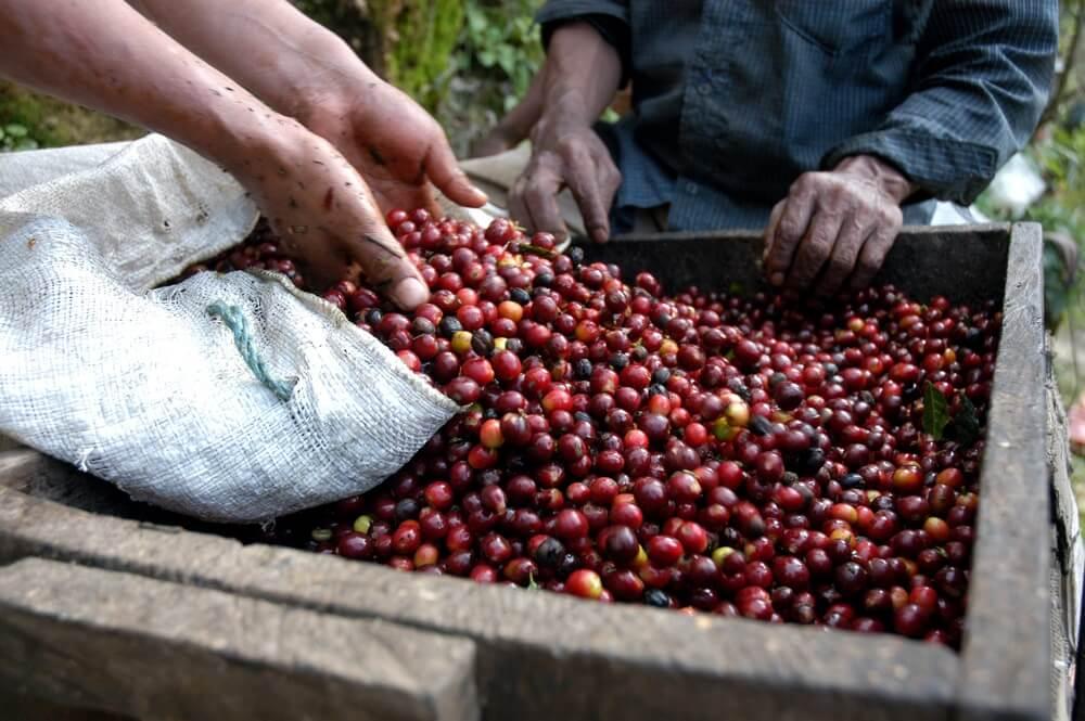 Koffiebonen op een van de koffieplantages in Guatemala