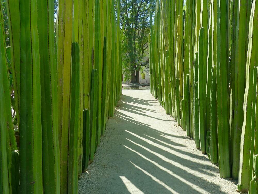 Botanische tuinen in Oaxaca stad, Mexico. 2 rijen links en rechts met hoge, groene cactussen. In het midden een wit looppad.