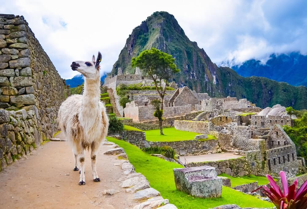 Grappige witte lama staande in Machu Picchu verloren ruïnes in Peru met groene heuvels en stenen muren op achtergrond met zachte focus