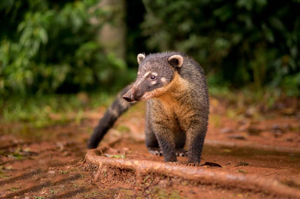 Coati in het Iguazu Falls Park.
