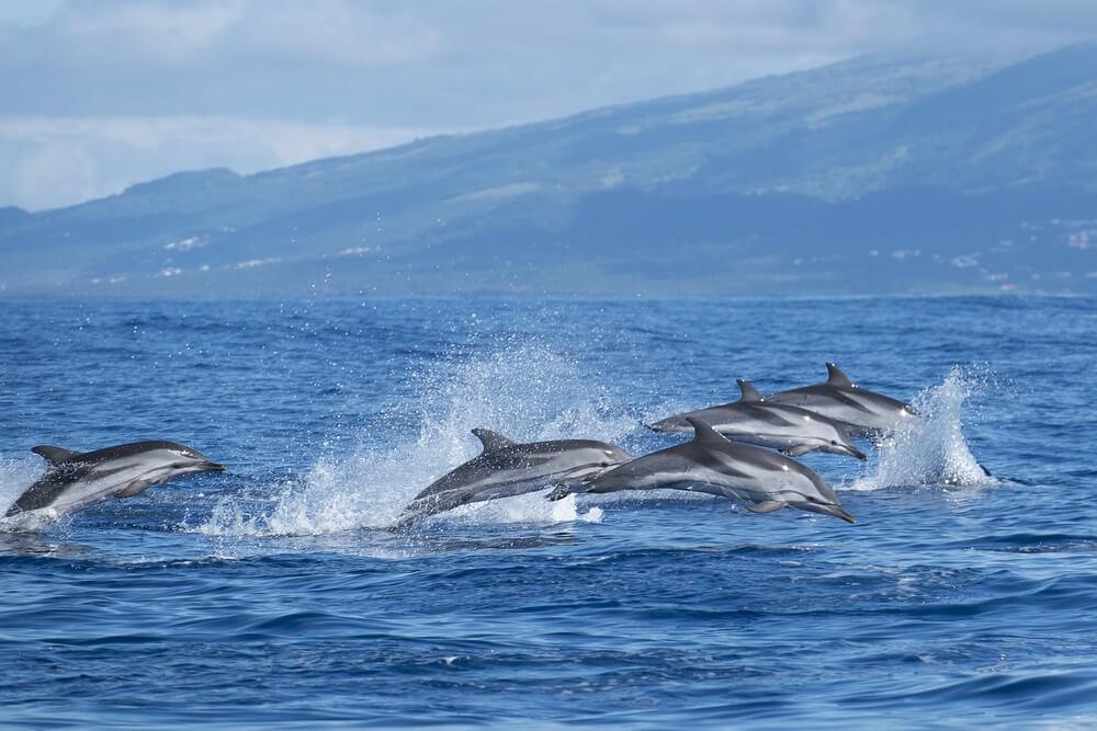 Atlantische gestreepte dolfijnen bij de Azoren