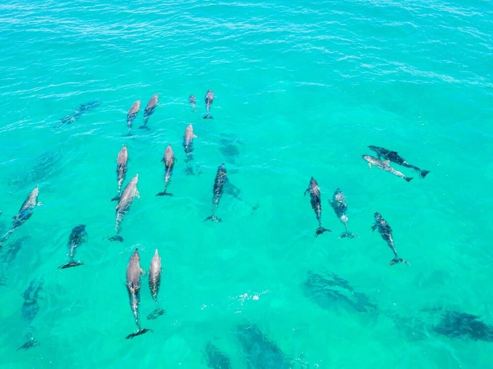 Een grote groep van dolfijnen in blauw water in Byron Bay, Australië