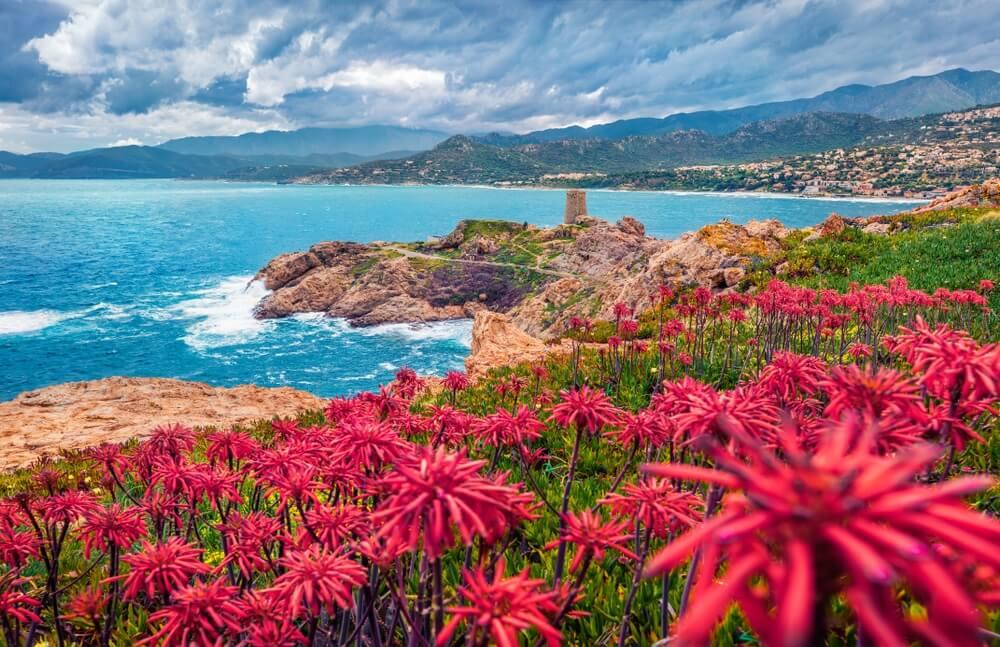 Bloeiende rode bloemen op de la Pietra cape met Genoise de la Pietra (een L'ile-Rousse toren) op de achtergrond. Zomerscène van het eiland van Corsica, Frankrijk, Europa.