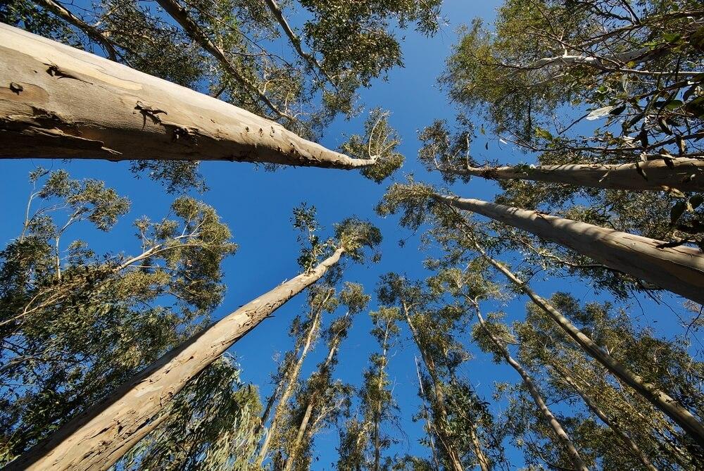 Hoge eucalyptusbomen in een bos in Corsica, Frankijk. Foto is van onderen af genomen. Strakblauwe lucht.