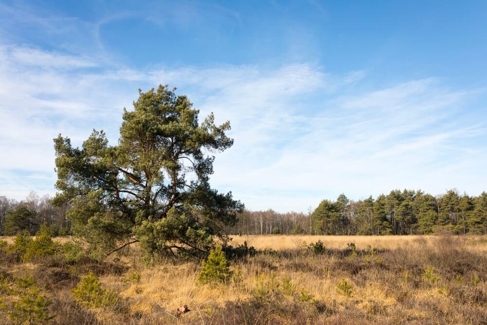 """Landschap met heide bij natuurgebied """"Cartierheide"""", Nederland."""
