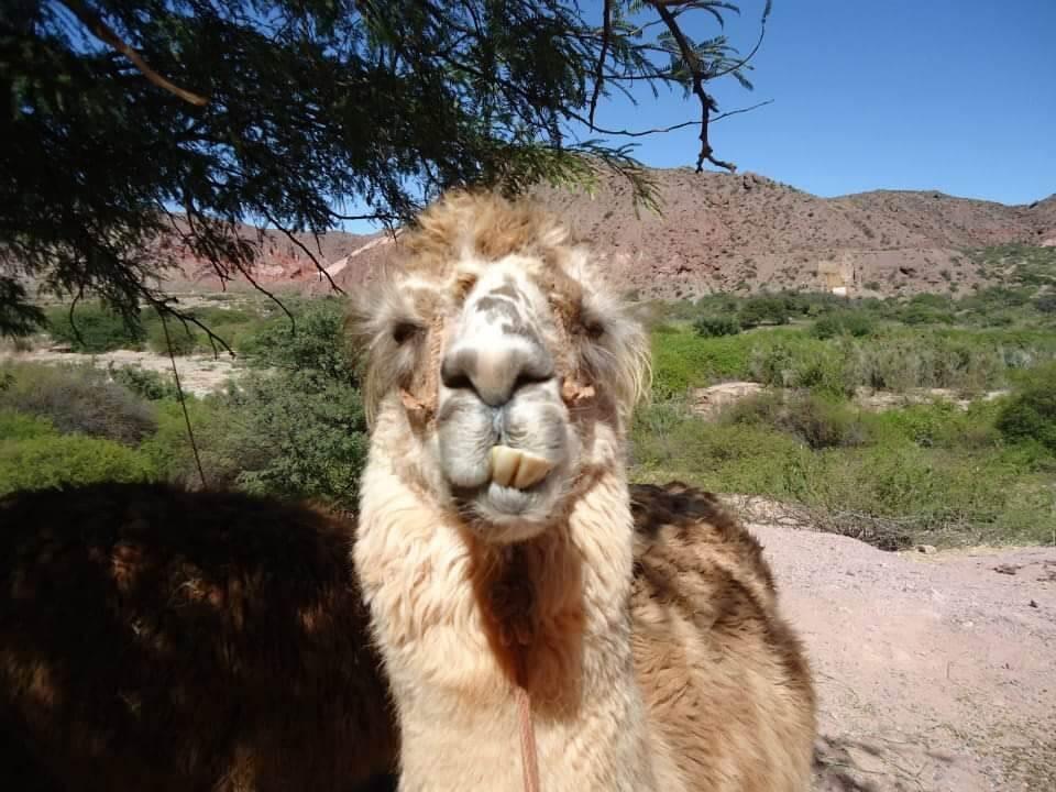 Een lama vol in beed met scheve tanden. Salta, Argentinië.