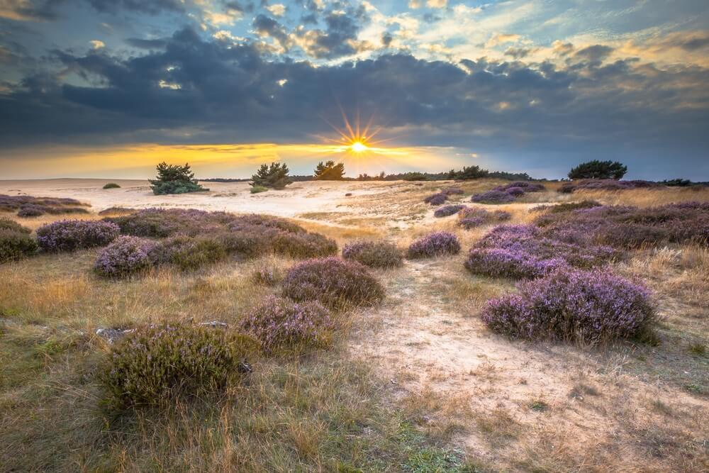 Heide en wisselend zand in Nationaal Park de Hoge Veluwe rond zonsondergang onder een bewolkte hemel in augustus.