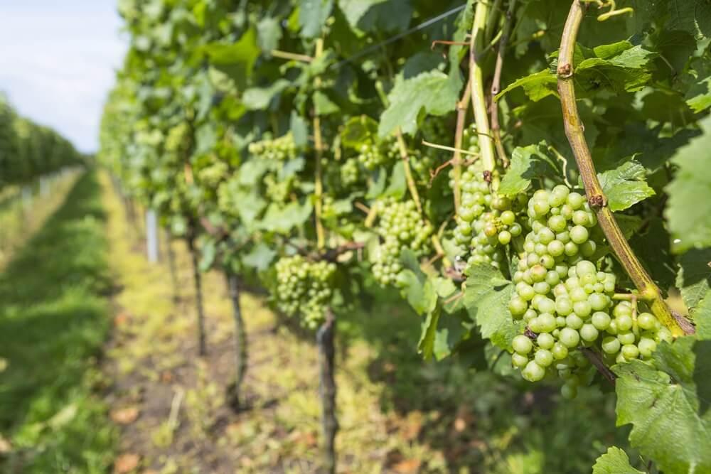 Trossen druiven op een wijngaard in Zuid-Limburg.