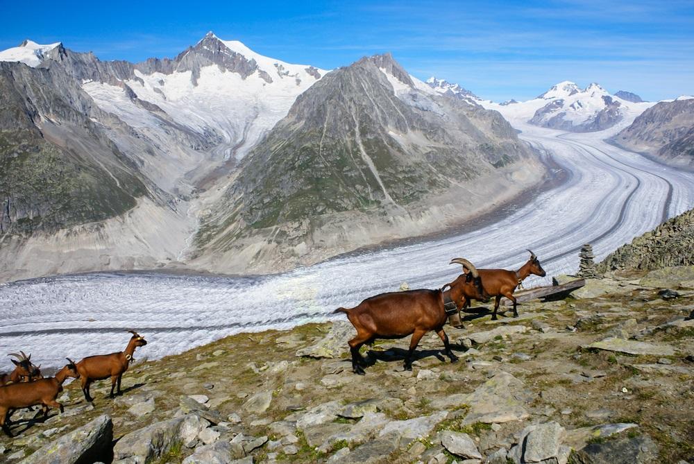 Berggeiten op een achtergrond van de gletsjer Aletsch, Zwitserland.