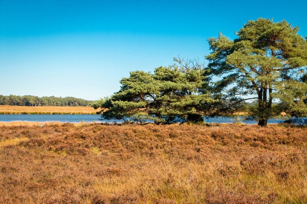 """Het Nationaal Park """"dwingelderveld"""" in Nederland, provincie Drenthe met een turfmeer, pijnbomen en heide. Heel beroemd in Europa."""