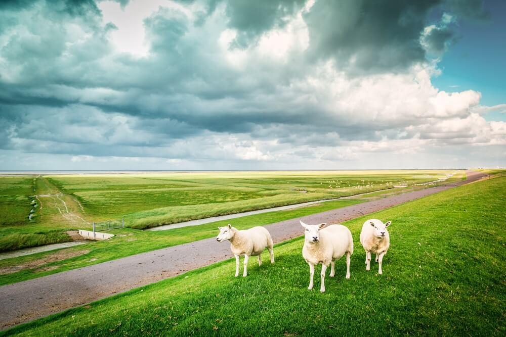 Drie schapen die naar de lens staren in een Nederlandse bewolkte dag, Pieterburen, Groningen, Holland.