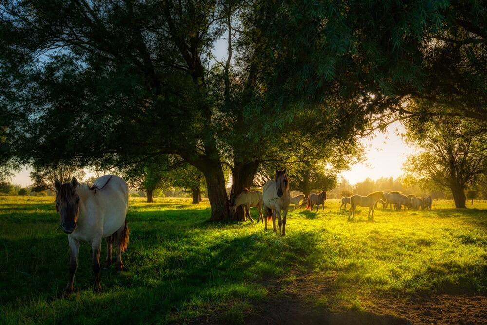 Konik paarden grazen in de natuur in de zomer met fel avondzonlicht op een groen weiland met bomen - Lauwersmeer, Nederland