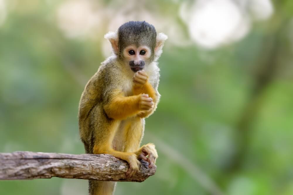 Leuke aap op onscherpe achtergrond (eekhoorn aap (macro).