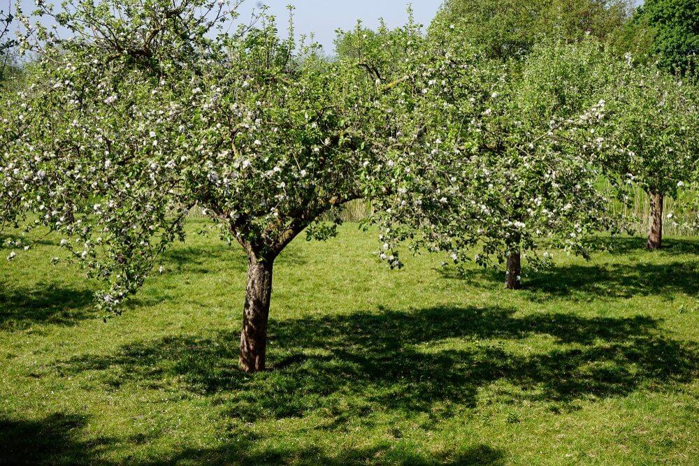 Mooi landelijk, agrarisch landschap van de rivier de Linge in de beroemde fruitstreek De Betuwe, Gelderland, Nederland. Gefotografeerd in het voorjaar met bloeiende fruitbomen en frisgroene velden.