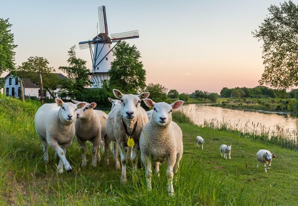 """Landschap met een traditionele Nederlandse windmolen genaamd """"De Vlinder"""" en een kudde schapen in Deil, provincie Gelderland, Nederland."""