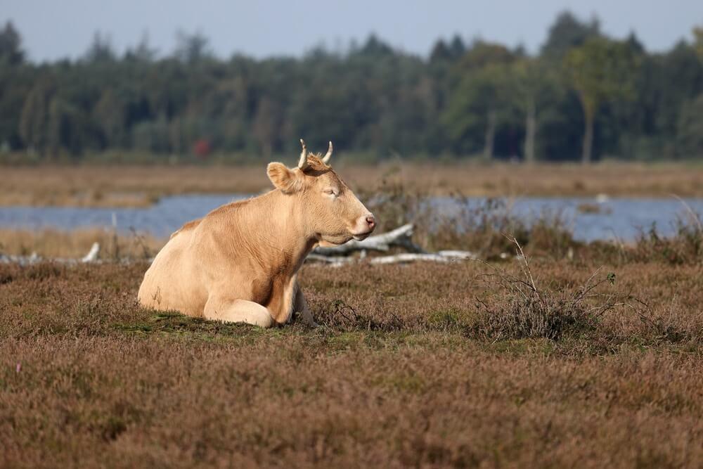 Een koe ligt heerlijk te relaxen in een heideveld in het Dwingelderveld Nationaal Park. Nederland natuur.