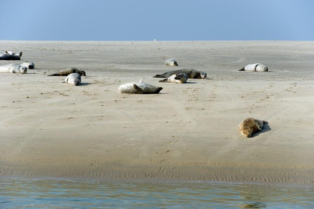 Groepje zeehonden die aan het chillen zijn op een zandbank in een van de natuurparken van Nederland.